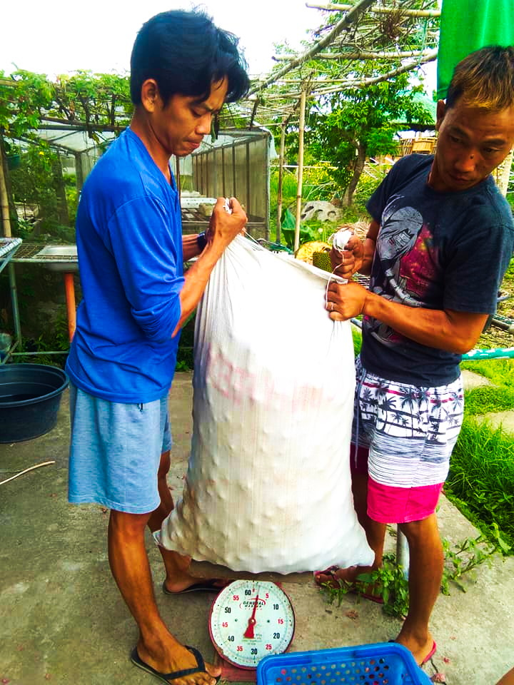 Cultivation of organic onion sans use of harmful agro-chemical inputs, in Mangarita Organic Farm in Capas town, Tarlac.