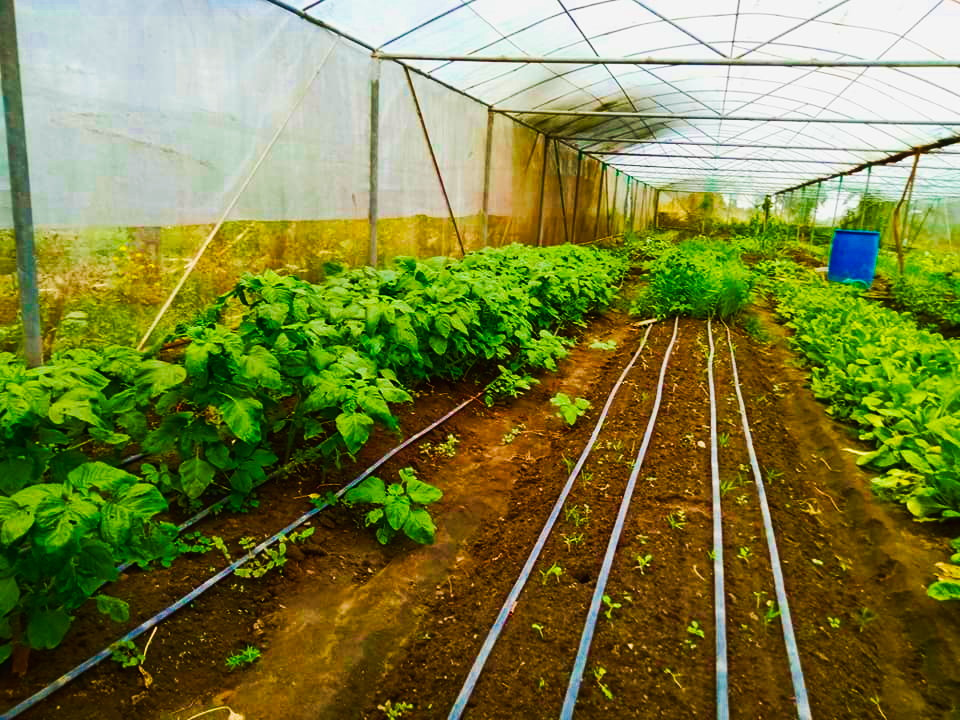 Installation of clear plastic film with PVC snap clips at the ECOSUS Greenhouse at the Mangarita Organic Farm in Capas, Tarlac.